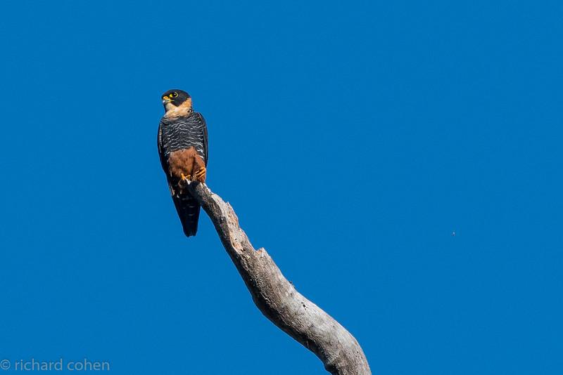 Bat falcon, way up in a tree.