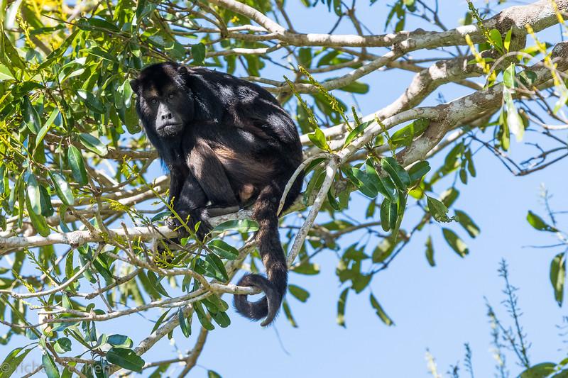Male howler monkey.