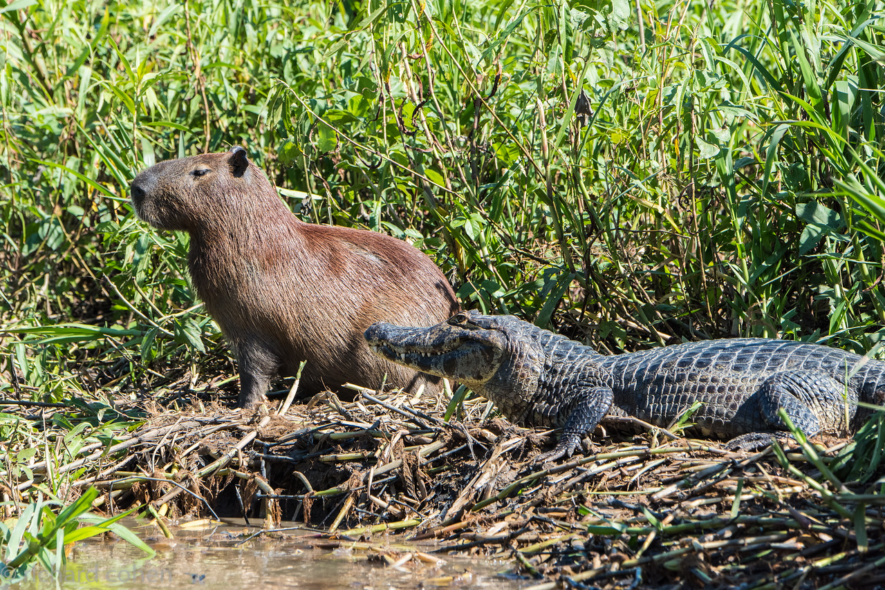 Capybara and caiman..not enemies as their common enemy is the Jaguar, not each other. At least for the moment.