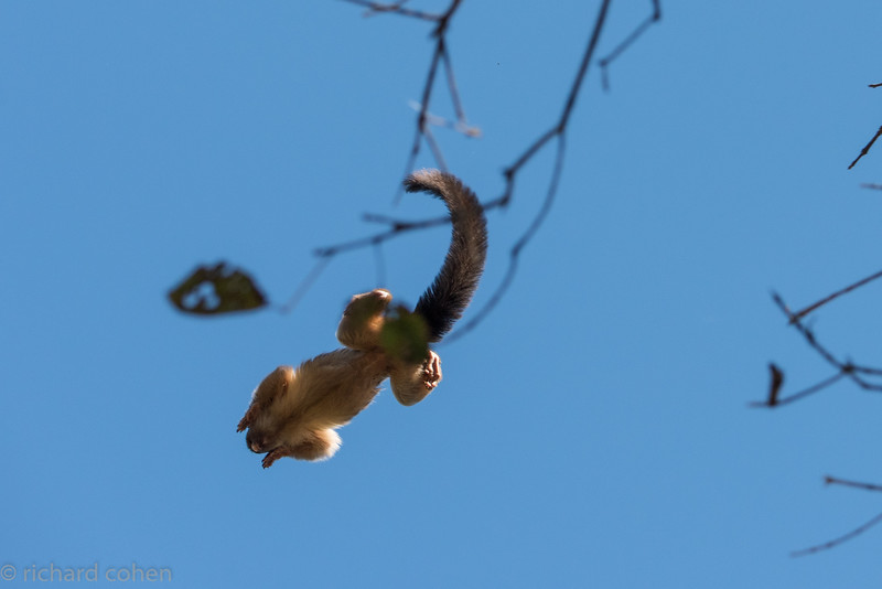 Marmoset, small and very nimble monkeys...Not a great shot, taken directly overhead as he was jumping from tree to tree.