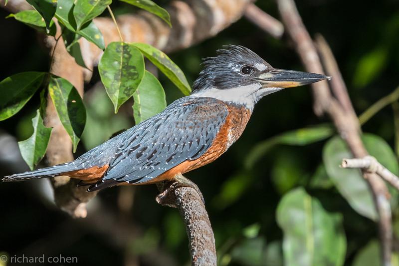Ringed kingfisher up close.