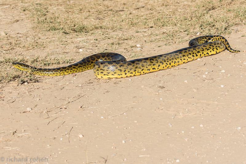 Anaconda shown full length.