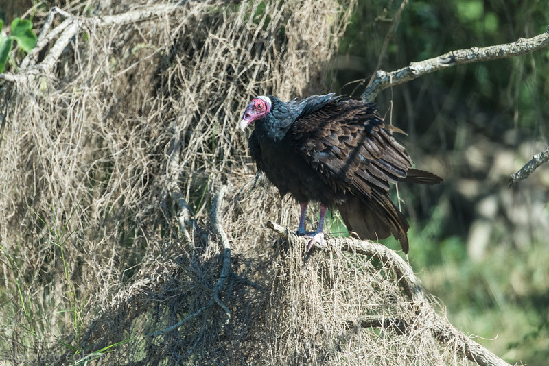 Pantanal turkey vulture...even the vultures in the Pantanal look cool!