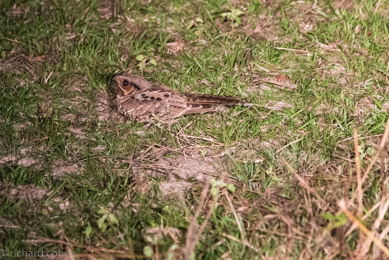 Nightjar, small nocturnal hawk.