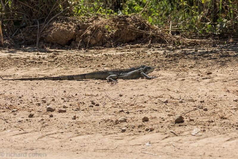 Green iguana, side view.
