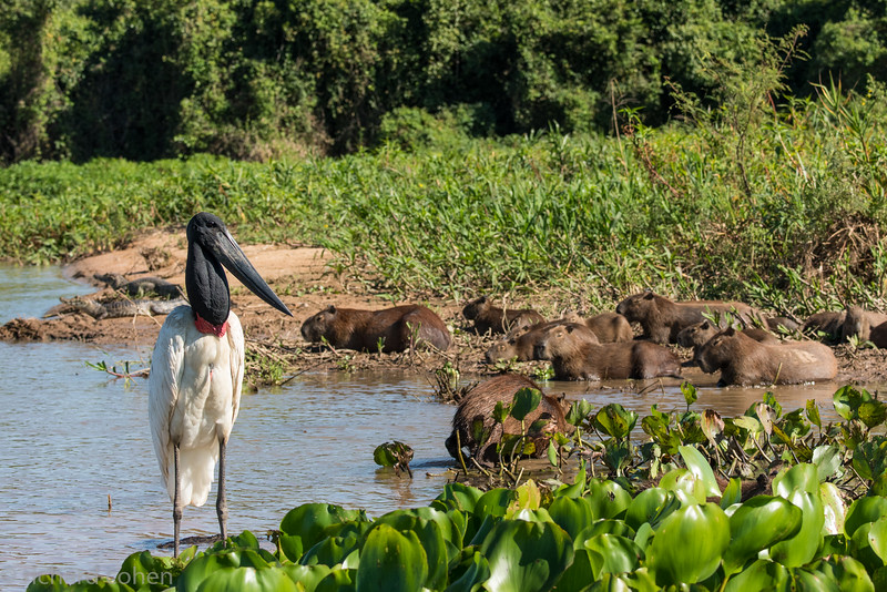 Jabiru, capybaras and caiman in the background.