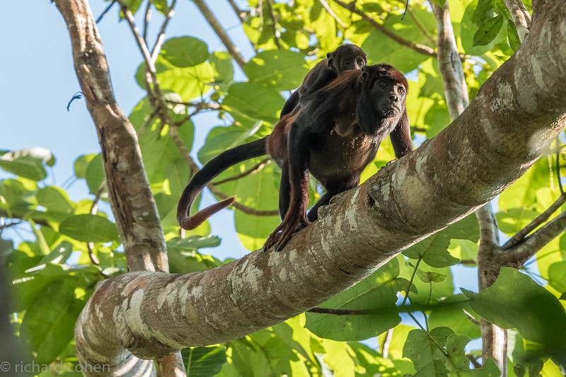 Mother and child Howler monkeys in the Amazon.