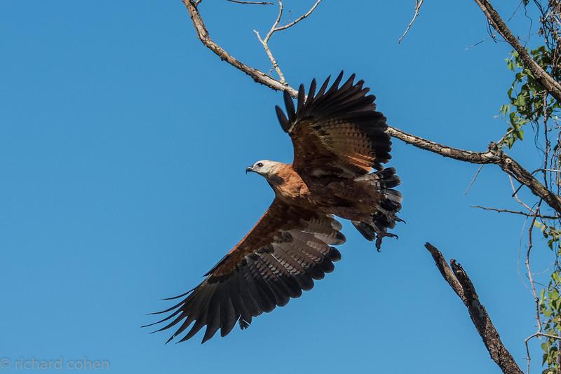 Black collared hawk taking flight.
