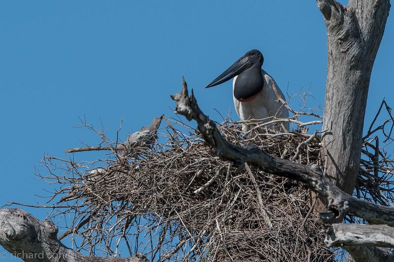 Jabiru on the nest.