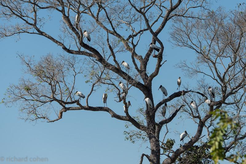 Wood stork condominium!