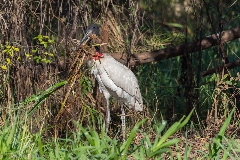 Jabiru stork, huge bird...making a nest. It actually flew with all this stuff.