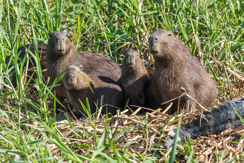 Capybara family checking us out as we check them out.
