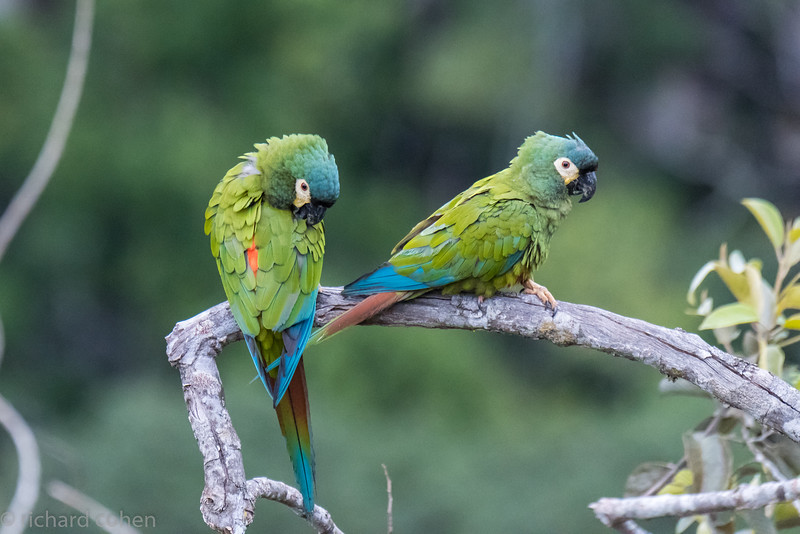 Blue winged macaws.