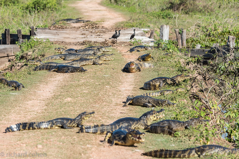 Congestion in the Pantanal...Actually they are getting warm in the sun on the road.