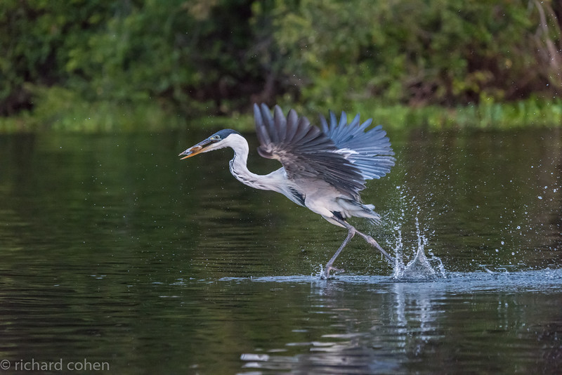 Cocoi heron, a lot like our great blue heron..This one was walking on water after getting a fish.