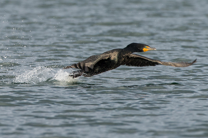 cormorant taking flight