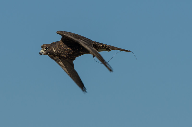 Peregrine in flight...not towards the drone unfortunately.