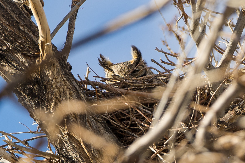 Later in the afternoon we went looking for owls at some of the ranches. Here is a great horned owl mom sitting on her eggs in the nest.