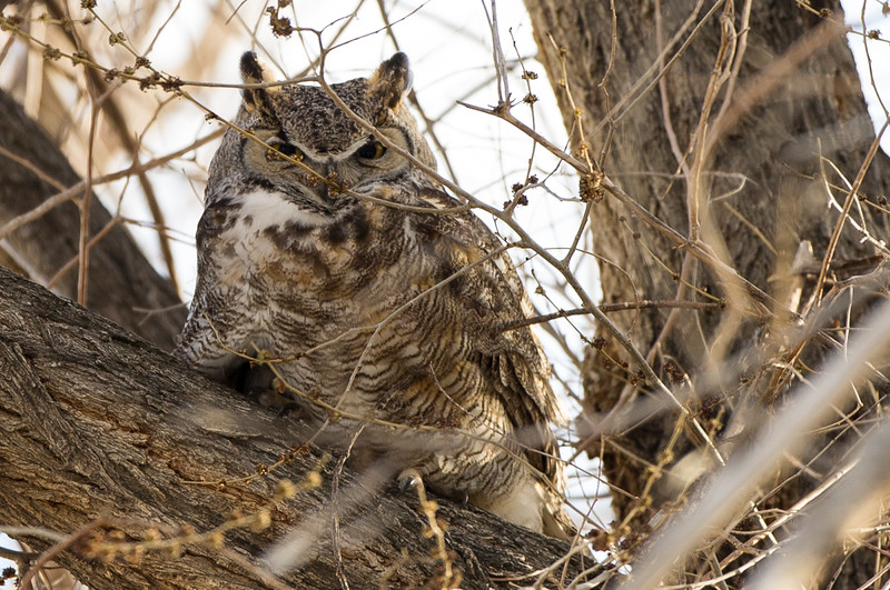 Father great horned owl again, and the next image as well.