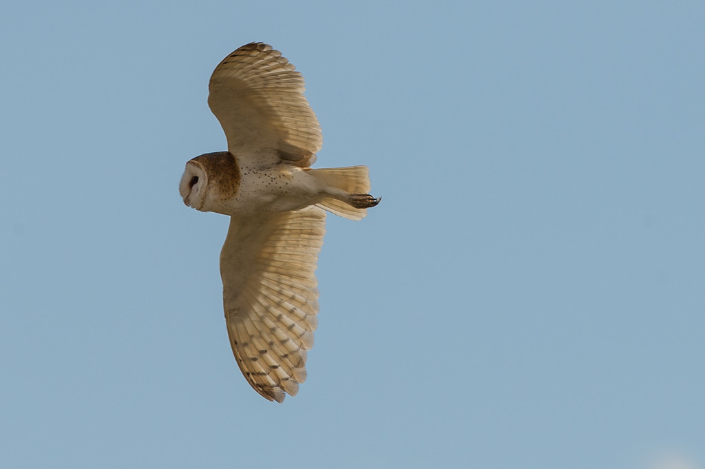 Barn owl in flight, first of four. Not many times you get to see this, much less get decent images of this. The owl was flushed out of a barn and flew to another nearby barn, and in the process gave us a good show.