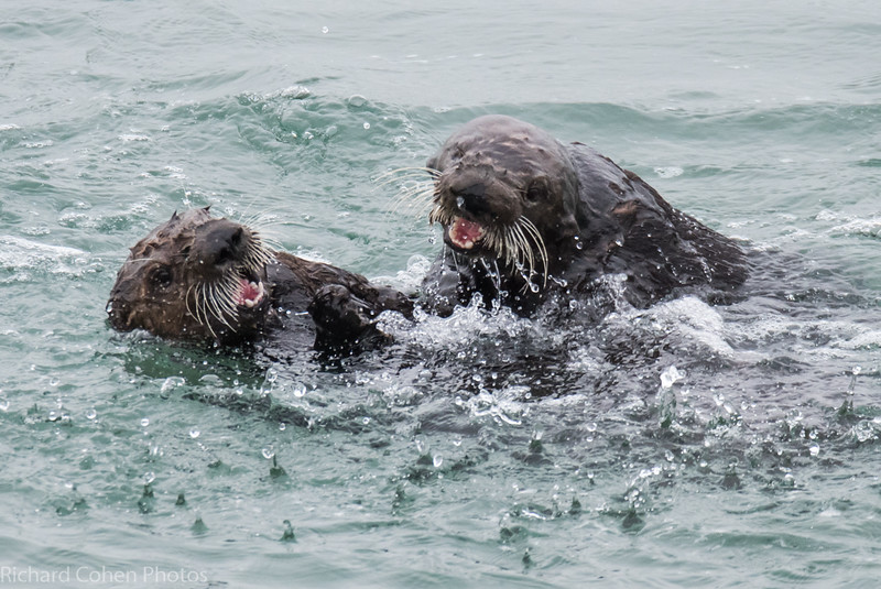 Two otters at play. Looks like fun.
