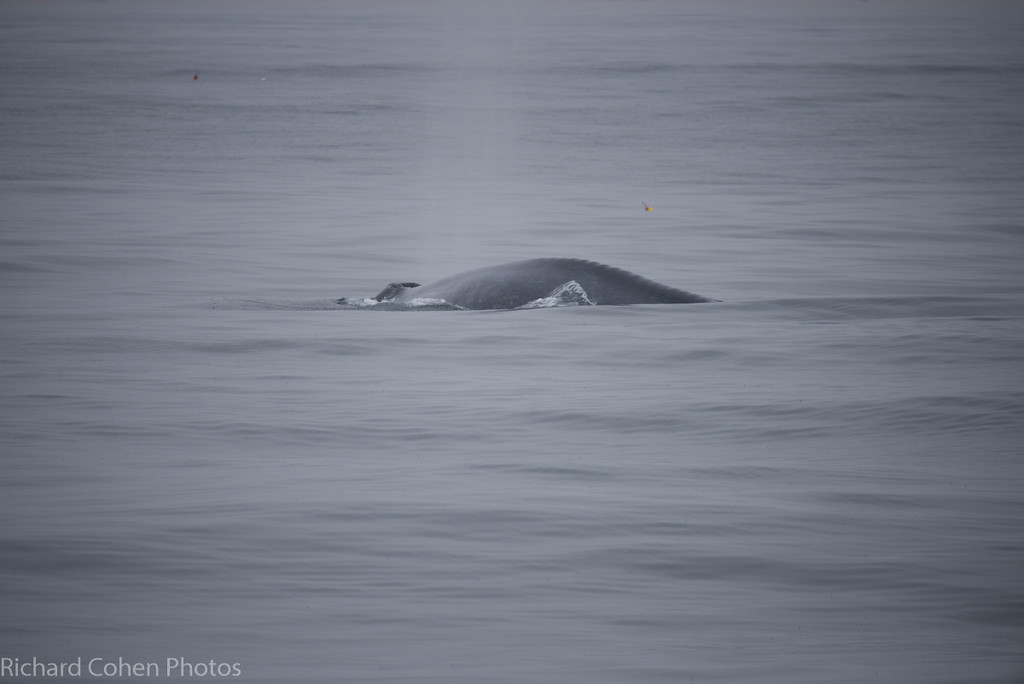 Doesn't look like much, but this is a blue whale, largest mammal on the planet.
