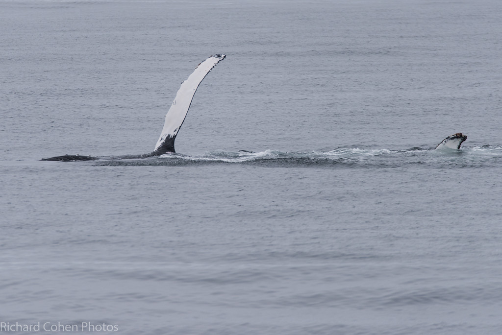 A pair of whales was 'fin slapping' for a few minutes, some sort of 'whale instant messaging'....