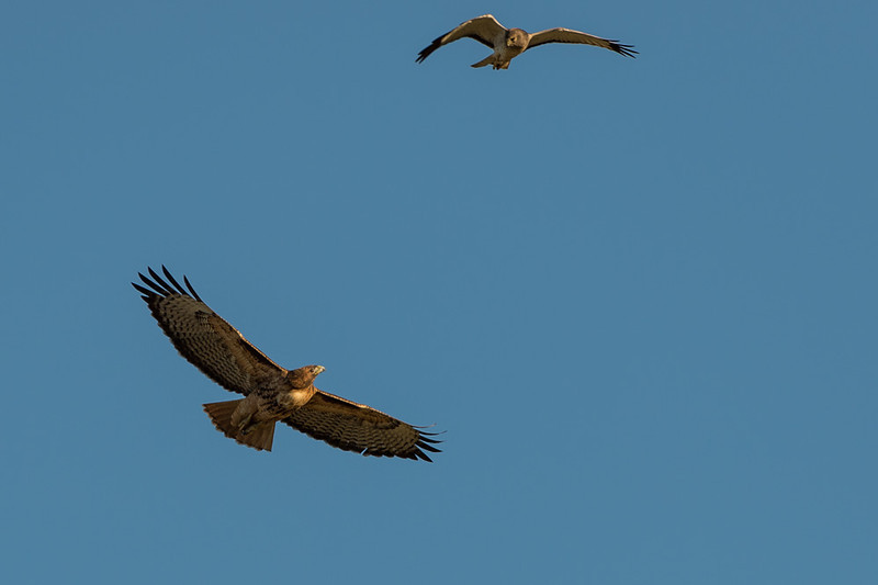 checking each other out.. harrier on top, red tailed hawk on bottom
