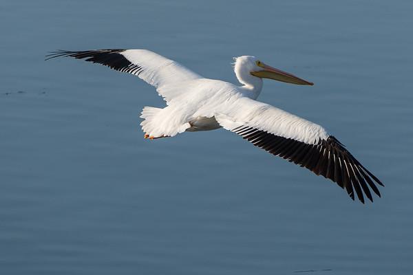 Pelicans Lafayette Rez