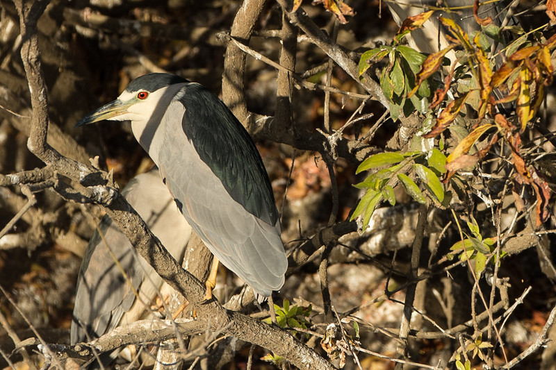 Another heron..