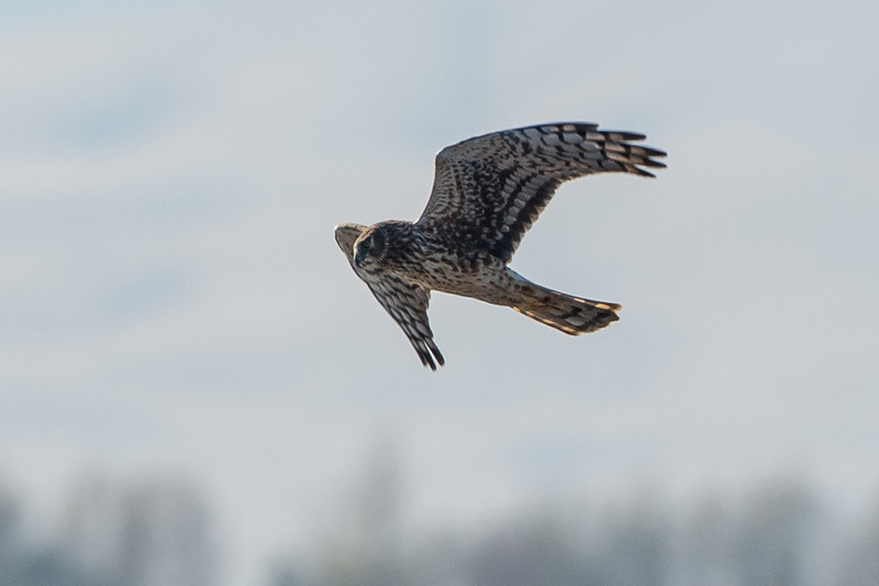 I actually got a few decent Harrier shots for once...