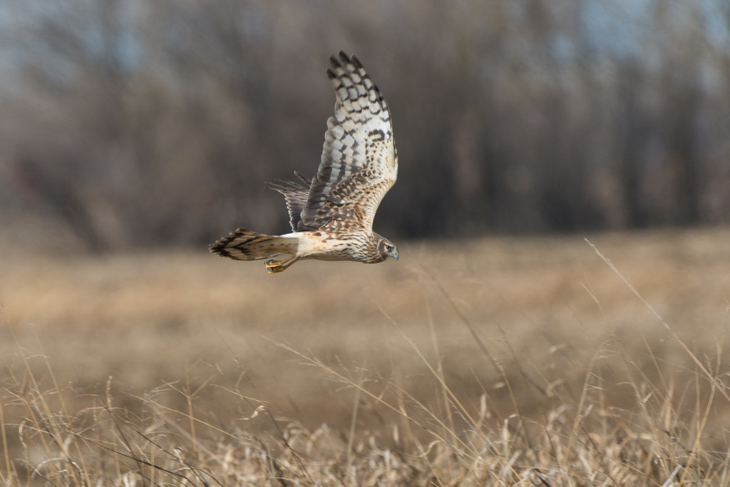 Northern Harrier cruising along the roadside...