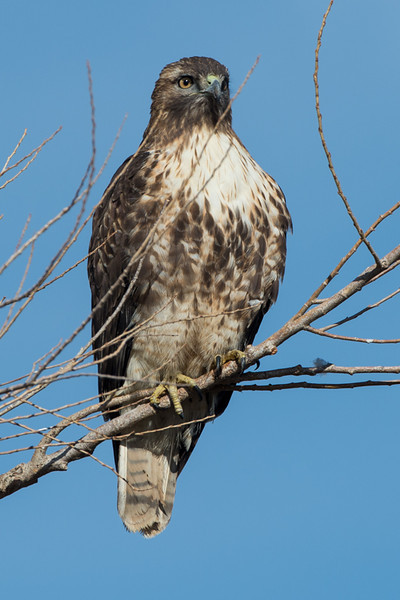 Obligatory Red Tailed Hawk pic..