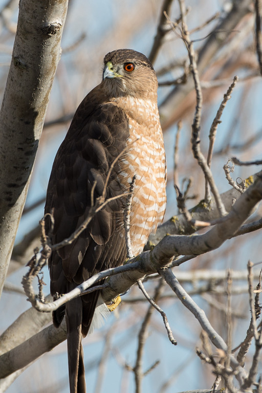 Cooper's Hawk (I think)..big red eye.