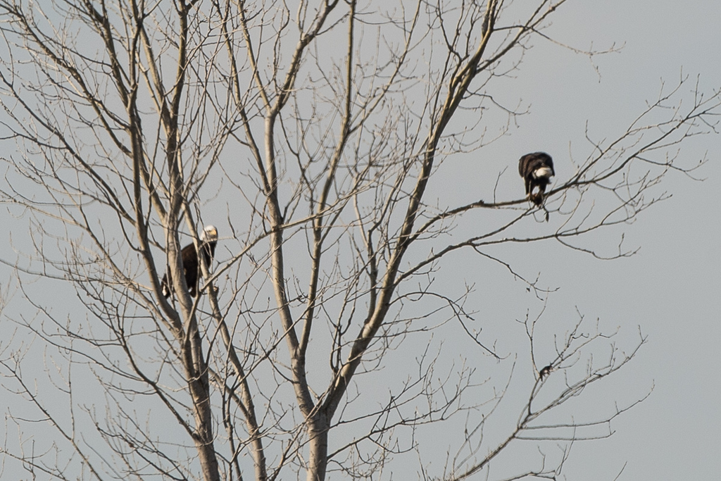 Two Bald Eagles from very far away..best I could do.