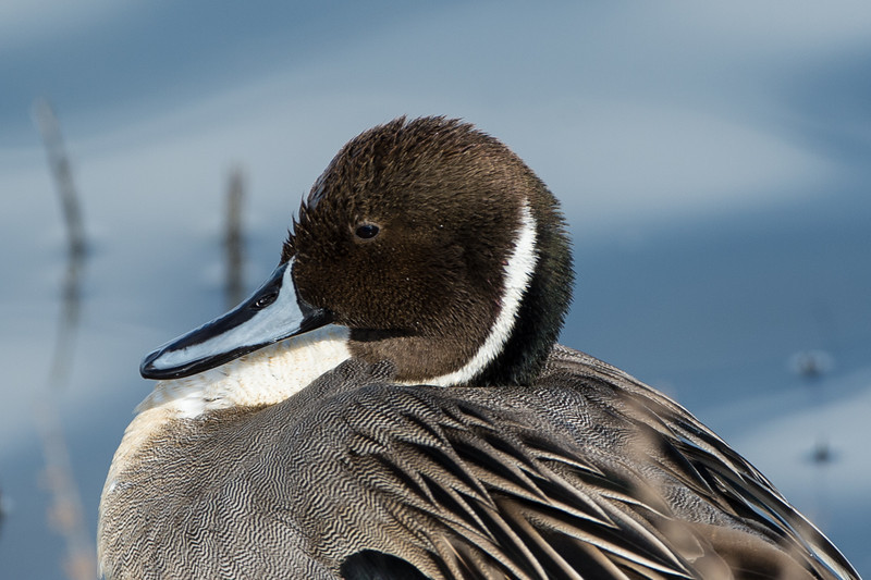 Pintail closeup...