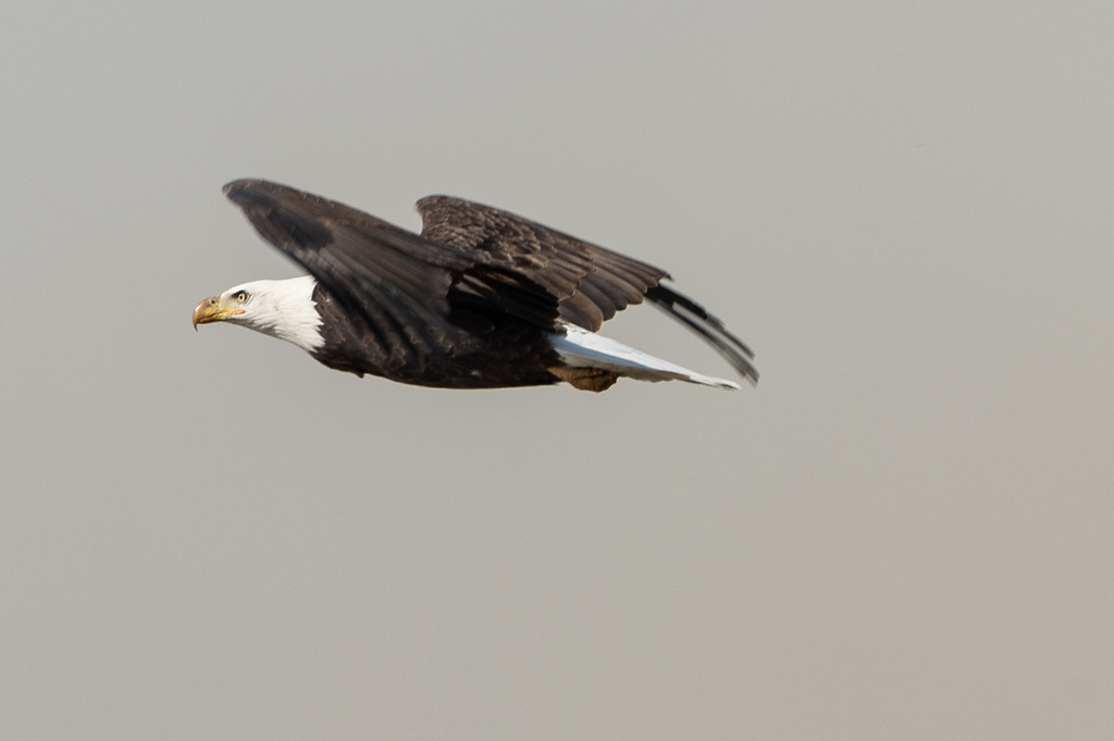 Not my best baldie shots, flew away too quickly. What was he/she scared of?