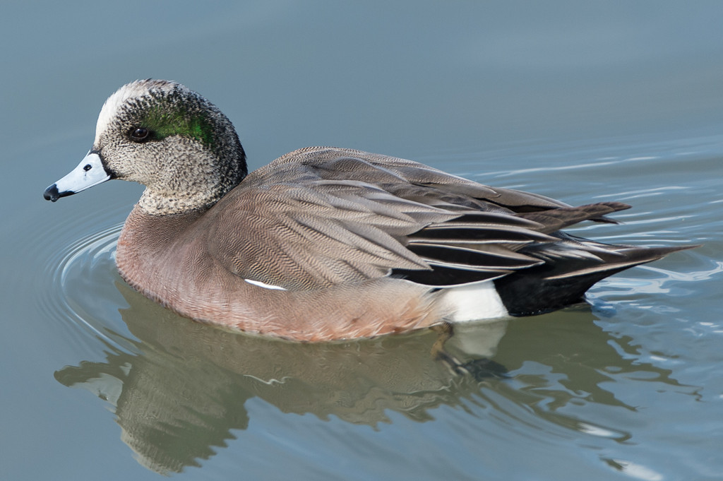 American Widgeon..