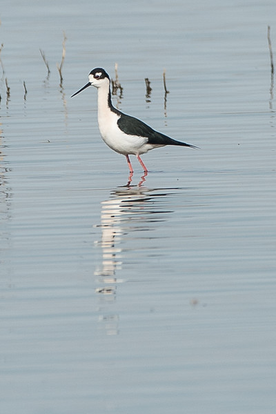Black Necked Stilt..