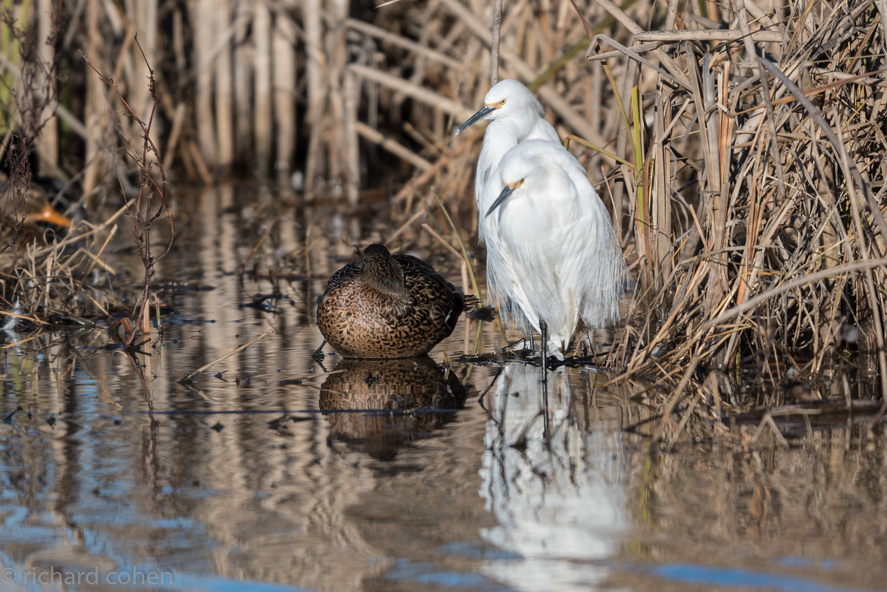 A couple of snowy egrets...