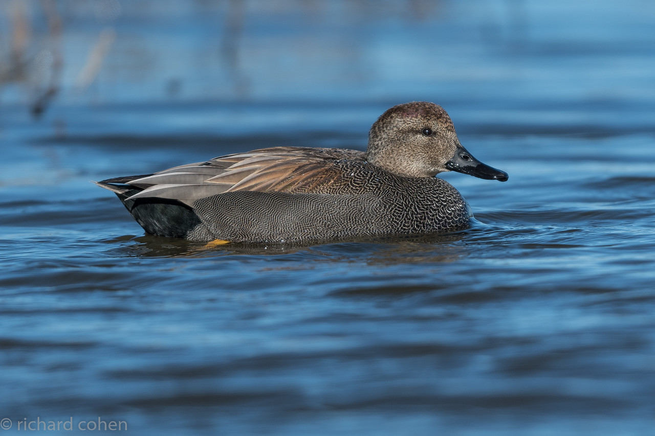 Great light! First in the 'waterfowl' series of pics...