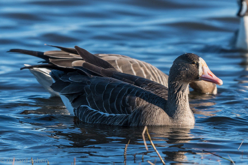 White fronted goose.