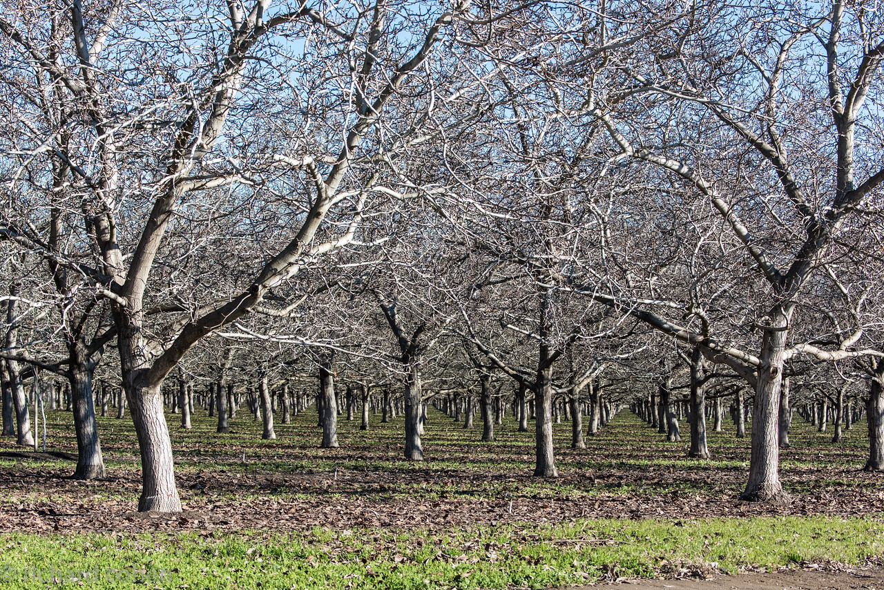 Orchards on the road to Llano Seco, always liked the way they looked.