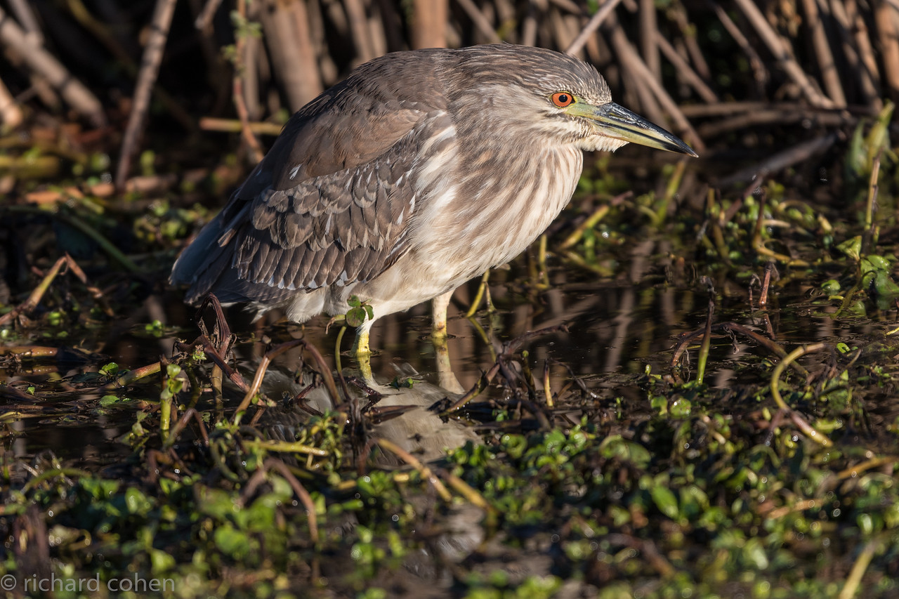 There were a couple of night heron fishing the marshes at SNWR.