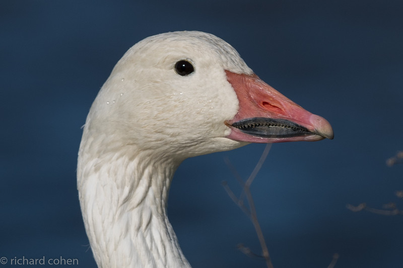 While most of the snow geese had flown into other ponds, those that were there were pretty cooperative..