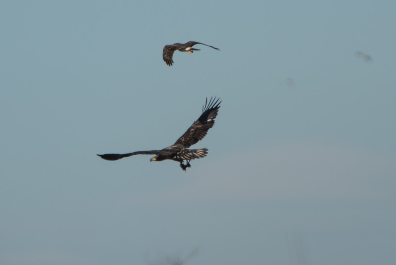 Juvenile bald eagle chasing away a northern harrier. Taken from very long range, heavily cropped.