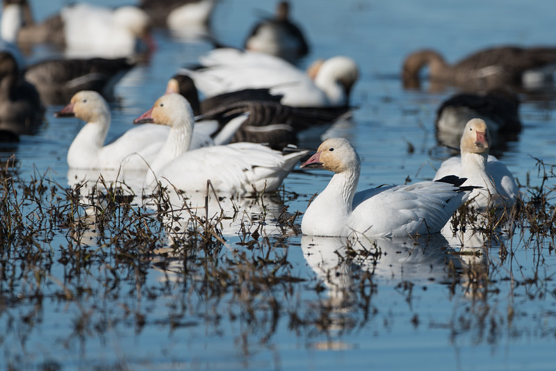 Snow geese with white fronted geese (dark ones)
