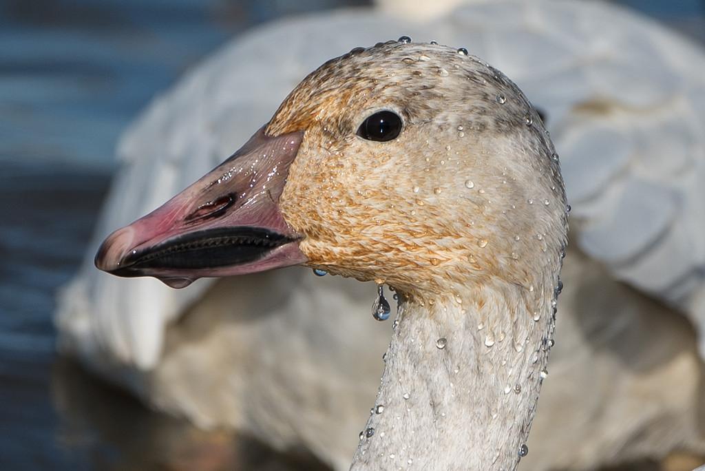 Snow goose up close