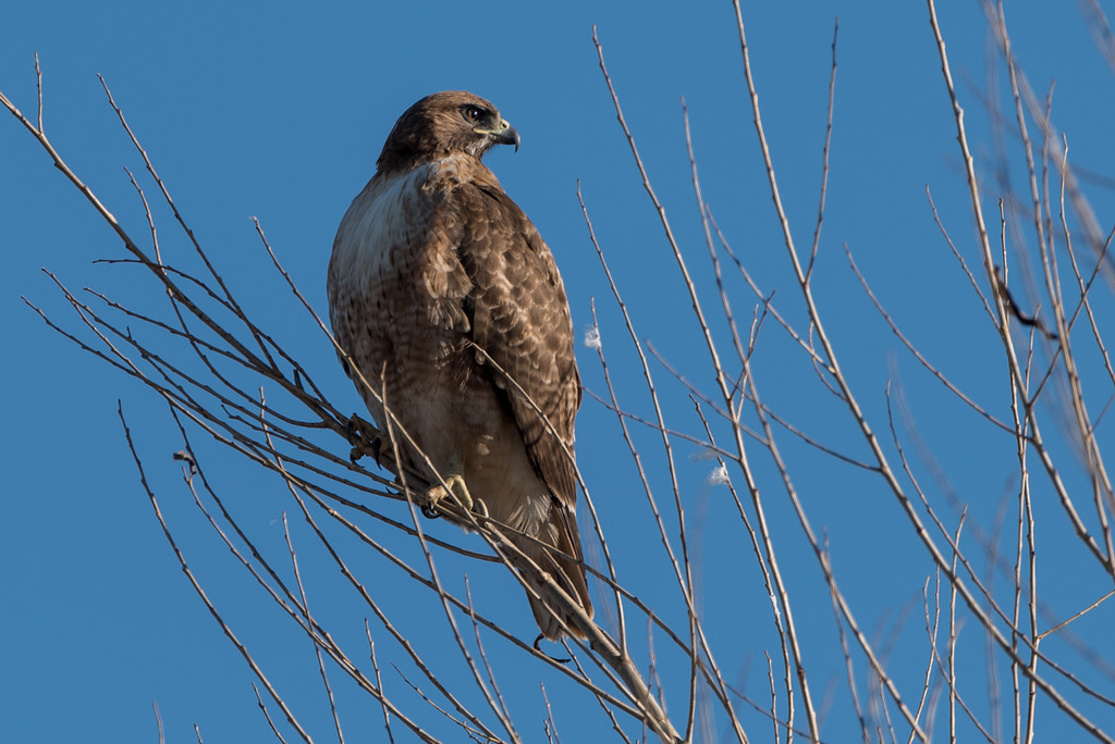Obligatory Red Tailed Hawk