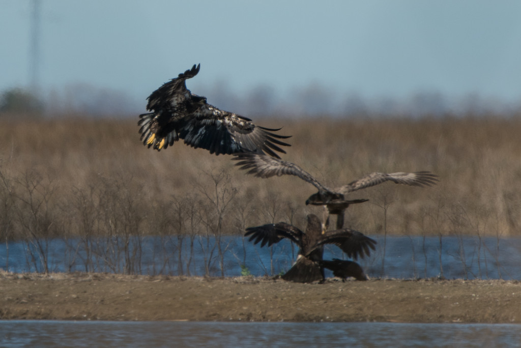 First in the series of juvenile bald eagle group fighting shots. There was a kill that was being fought over. Taken at 1000mm and cropped, I was probably more than 1/4 mile away. Best I could do, nobody else even saw these guys.